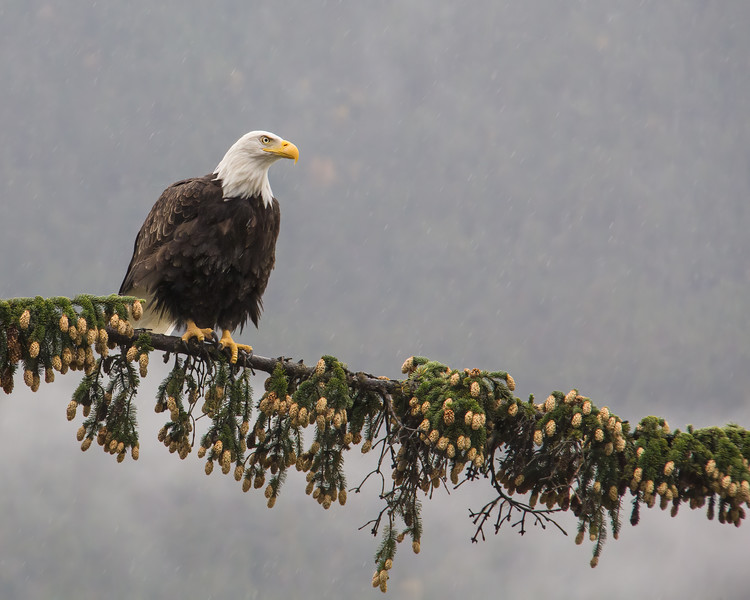 Skagway Bald Eagle