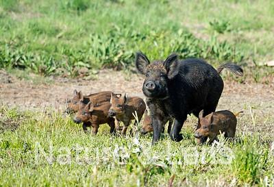 Pigs, Wild