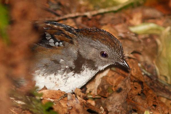 Australian Logrunner