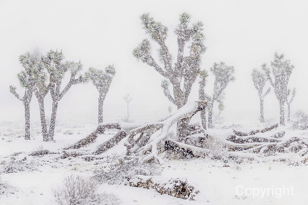 Joshua Tree Blizzard