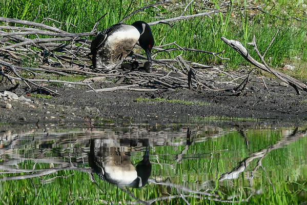 6-22-16 *^Common Loon - Chicks Leave The Nest