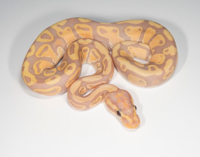 B2106, Male Banana