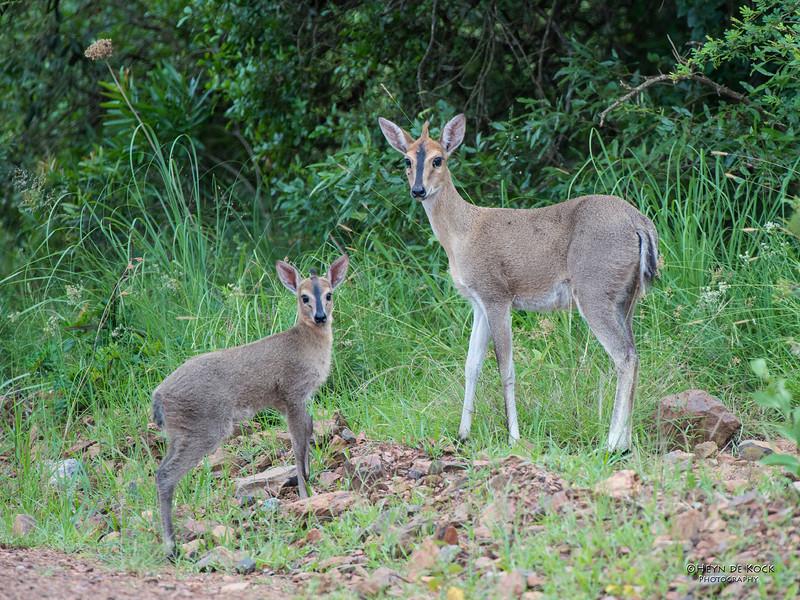 Common Duiker, Itala NP, KZN, SA Jan-2014-1.jpg