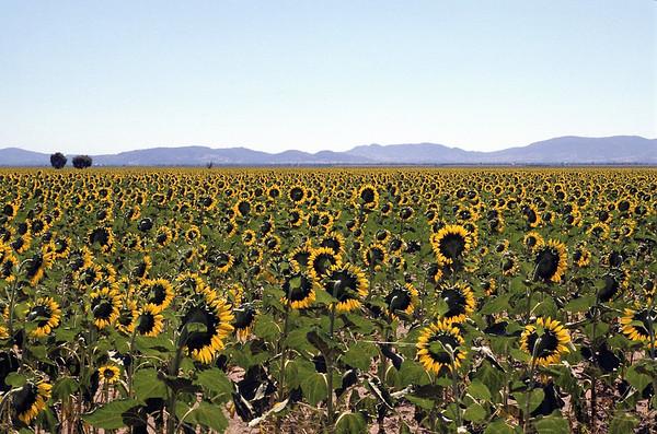 Sunflower Field near Tamworth, NSW, Australia