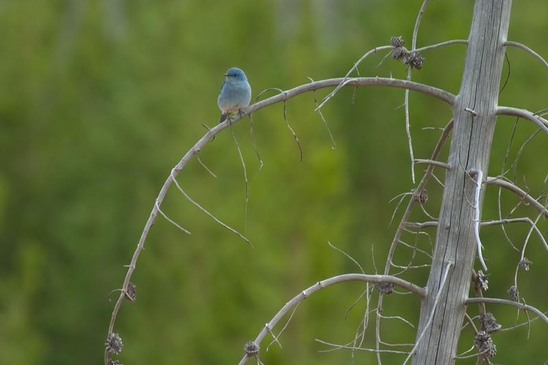Mtn Bluebird curved branch 760_6081.jpg