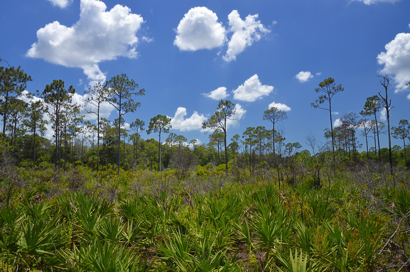 Pines and Palmettos, Ft. Myers Florida