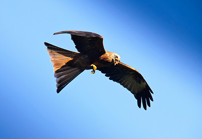 Red kite in flight.