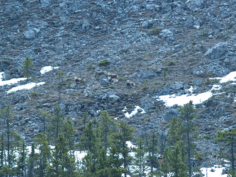 You can barely see them against the rocks but there are more mountain goats. This is not too far past Muncho Lake, heading north.