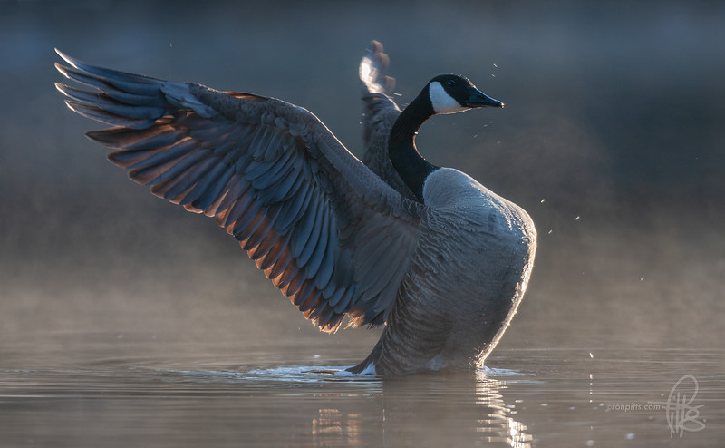 sm morning glory goose_MG_7002.jpg