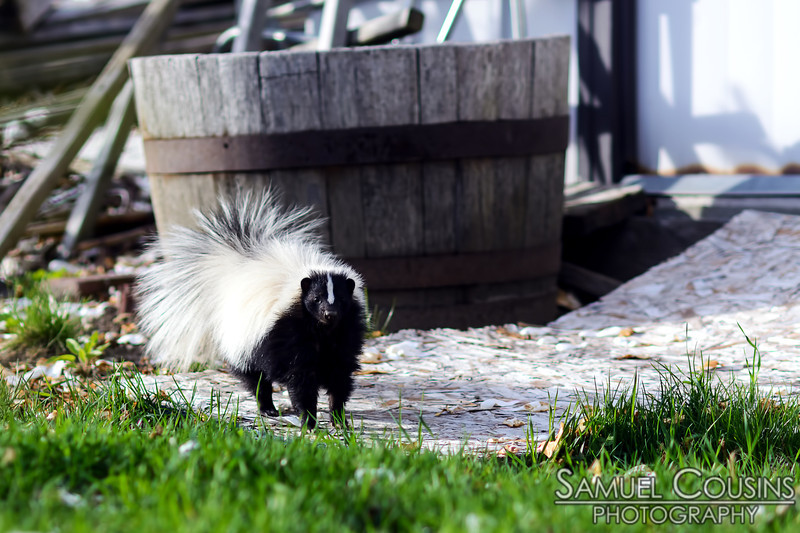 Skunk in the neighbor's yard.