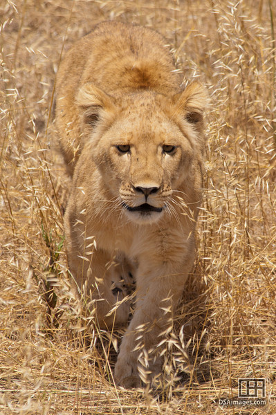 Seven month old lioness cub, Jahzara