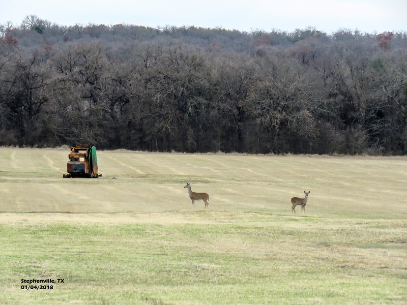 IMG_9078 3T 2 deer in field Stephenville 104 1605.jpg
