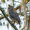 Great Horned Owl - Loxahatchee NWR - February 2013