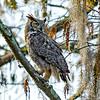 Great Horned Owl - Loxahatchee NWR - February 2013