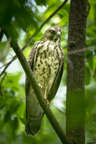 Juvenille Cooper's Hawk