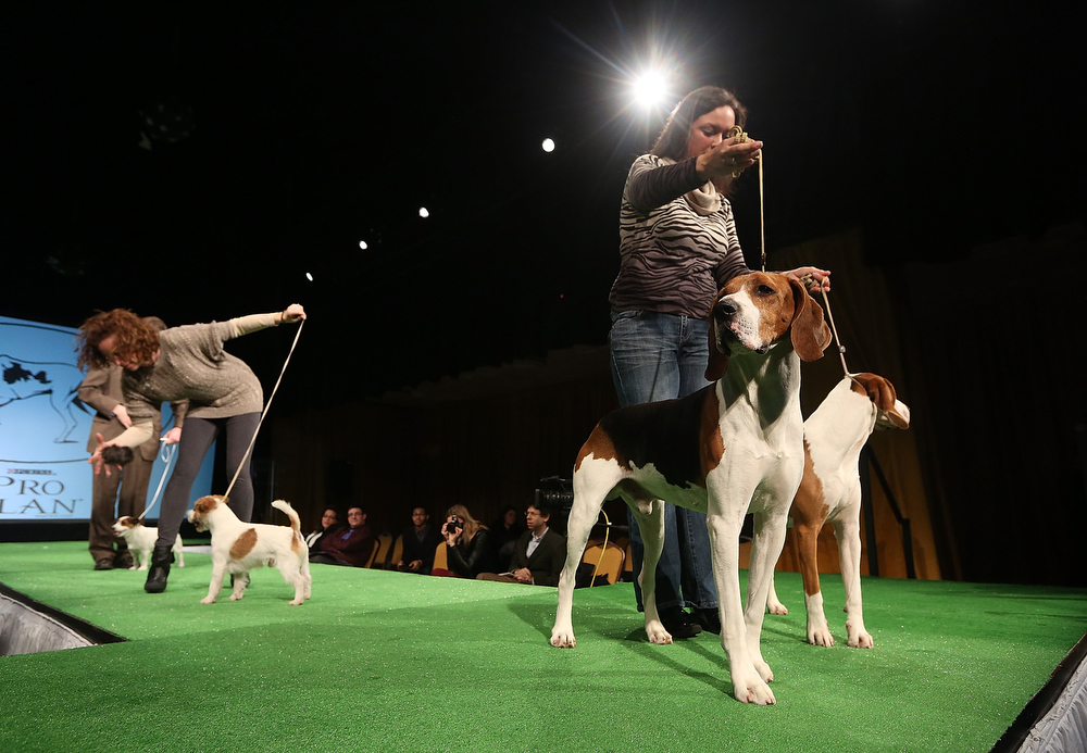 Description of . Xcetera and Meg (R), Treeing Walker Coonhounds, stand near Russell Terriers (L) at a press conference kicking off the 137th Annual Westminster Kennel Club Dog Show on February 7, 2013 in New York City. This year's event will feature these two new breeds and will take place February 11 and 12.  (Photo by Mario Tama/Getty Images)