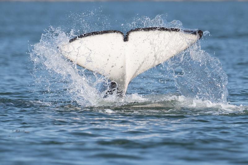 Orcas -  073115-348.jpg