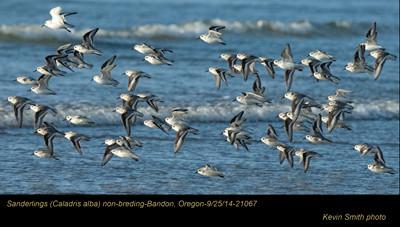 Sanderlings 21067.jpg