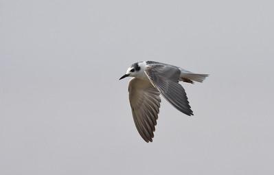 A 17 Gulls,Terns-Möwen,Seeschwalben