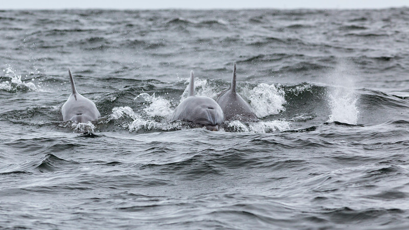Chilean National Humbolt Penguin Reserve Isla Choros -  Bottle Nose Dolphins