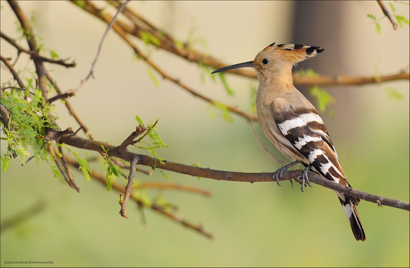 Common Hoopoe....