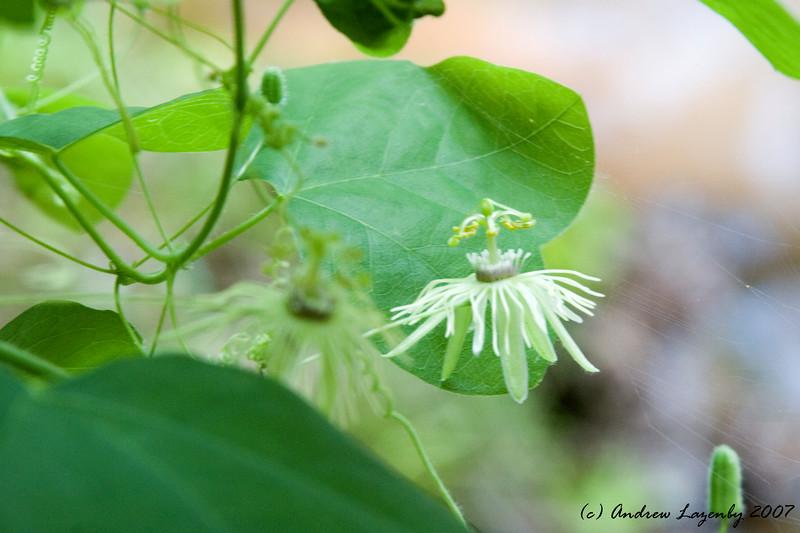 Passiflora lutea.jpg