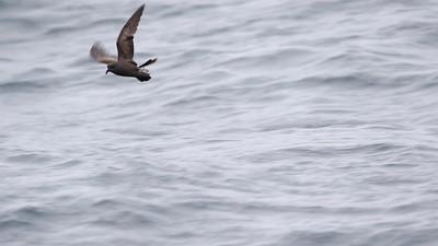 Pelagic Birding