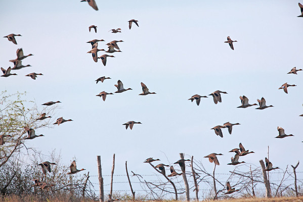 Ducks Hunted in Laoag