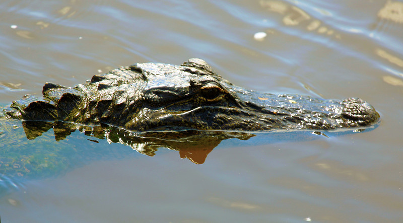 An Alligator eyes us suspiciously.  Might we be edible?