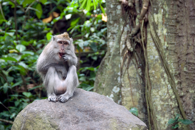 Cute photo of monkey on a rock in Bali, Indonesia