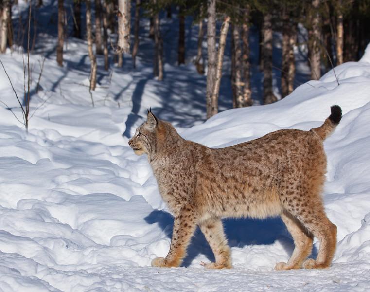 Lynx 10.jpg