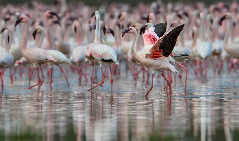 Lesser-flamingo-Lake-Bogoria-Kenya.jpg