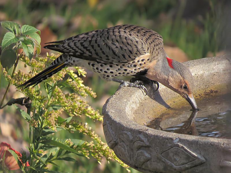 sx50_flicker_birdbath_743.jpg