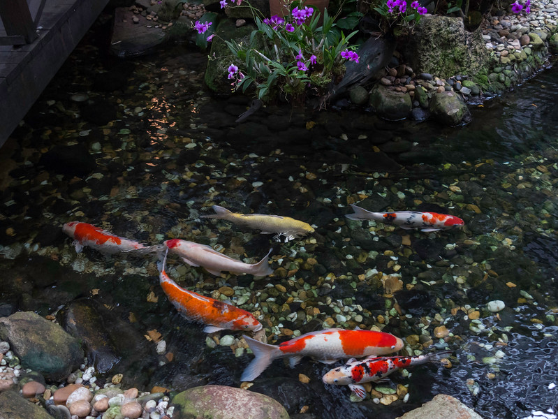 Koi at the Four Seasons Hotel in Bangkok 2