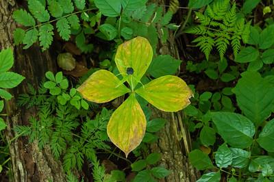 Melanthiaceae Nysrotsväxter