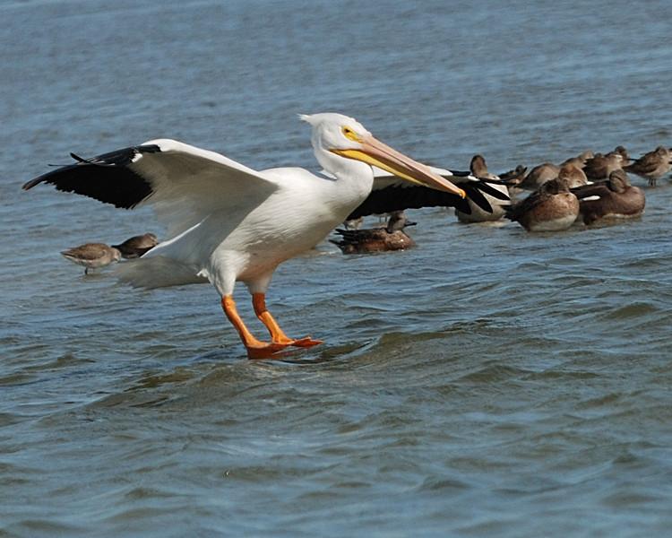 White Pelican coming in for landing - Suder Park, Corpus Christi