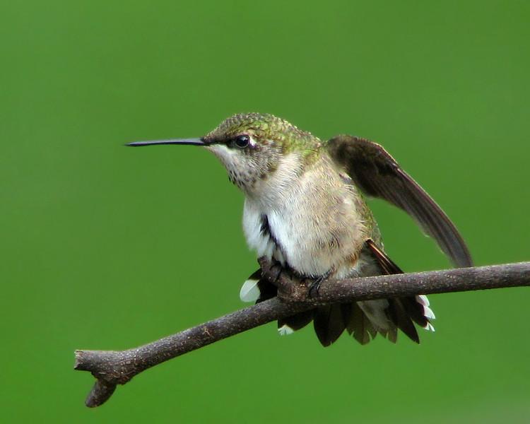 hummingbird_2298.jpg