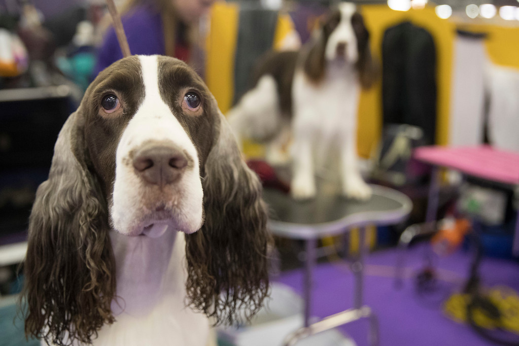. Bo, an English springer spaniel, is groomed in the benching area during the 141st Westminster Kennel Club Dog Show, Tuesday, Feb. 14, 2017, in New York. (AP Photo/Mary Altaffer)