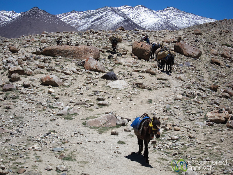 Horses Along the Markha Valley Trek - Ladakh, India