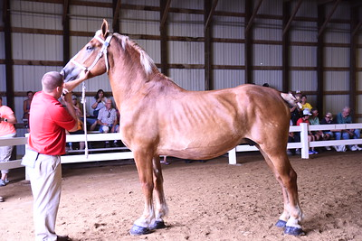Belgian Brood Mare 4+