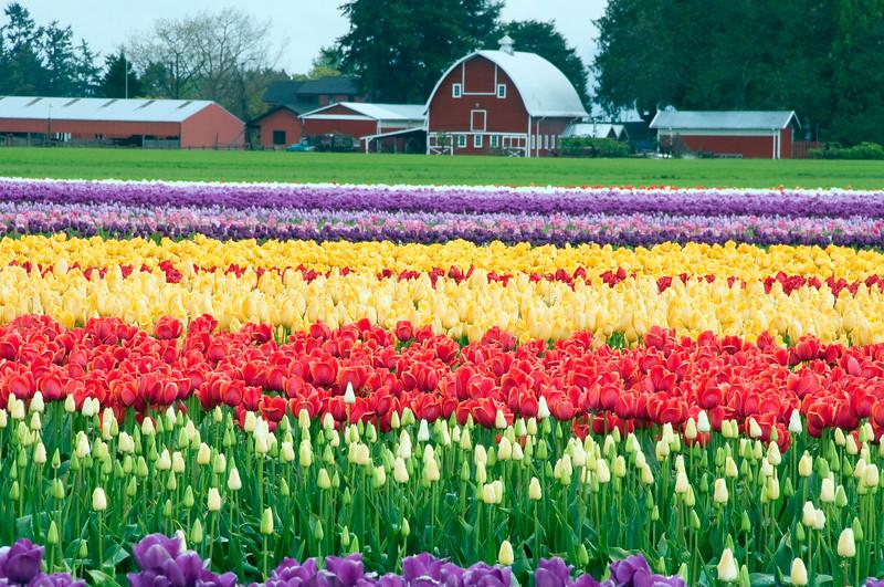 Tulip farm.jpg