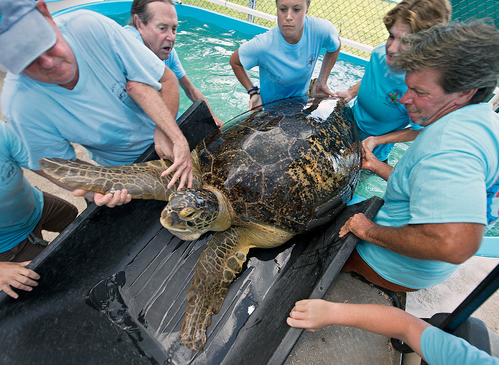 . In this photo provided by the Florida Keys News Bureau, staff of the Florida Keys-based Turtle Hospital load OD, a 320-pound green sea turtle, into a golf cart so it can be moved to an examination room Wednesday, July 24, 2013. Because the turtle cannot be released due to an irreparable collapsed lung, on Thursday, July 25, it is to be flown via FedEx to Las Vegas to live out its life at the The Shark Reef Aquarium at Mandalay Resort and Casino. (AP Photo/Florida Keys News Bureau, Andy Newman)