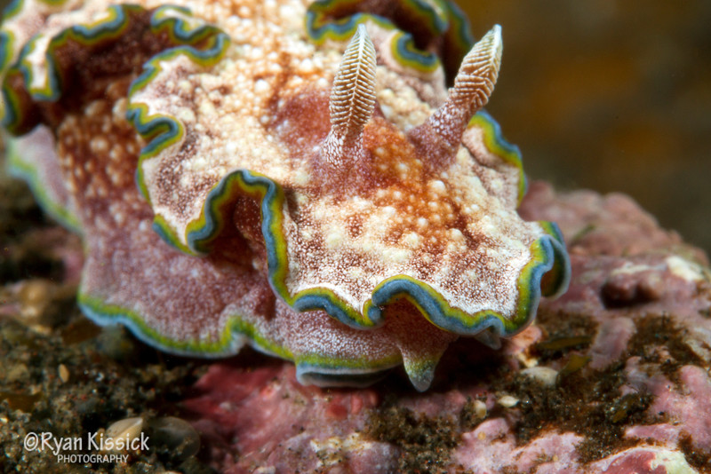 Nudibranch Closeup