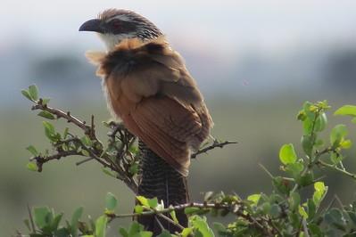 Cuckoos (Cuculidae)