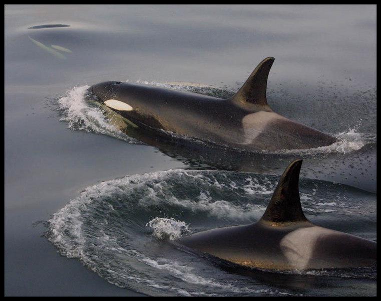 Orca 02.jpg