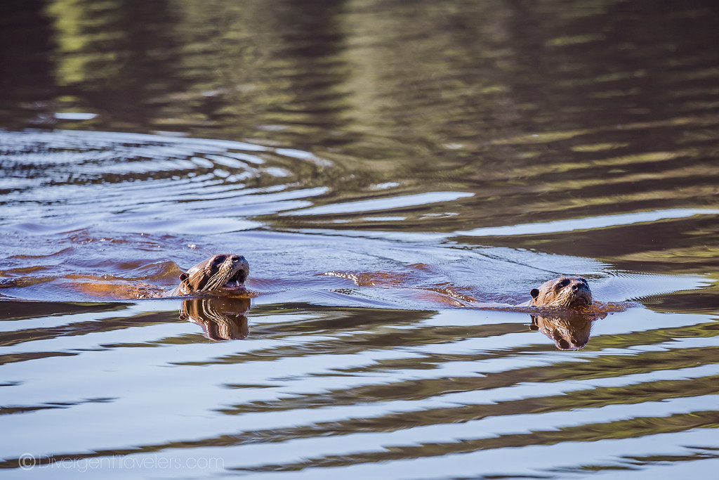 Posada Amazonas - Giant River Otters - Lina Stock