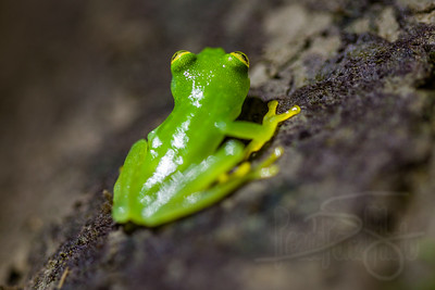 Glass Tree Frog. Tiny thing. with translucent underbelly, with heartbeat visible.