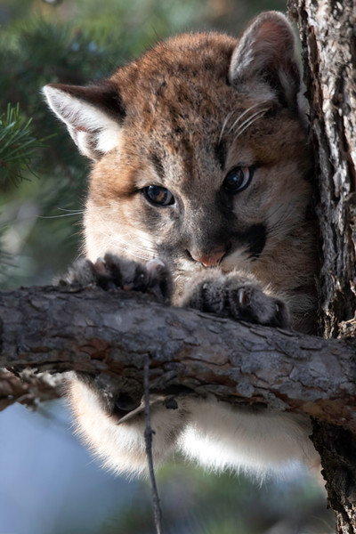 Mountain Lion Kitten close up 2.jpg