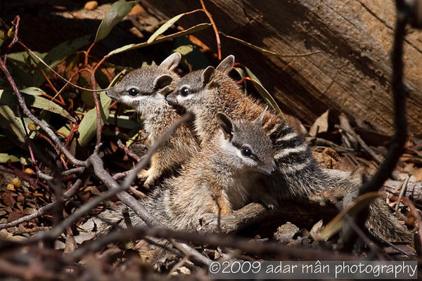 Numbat (marsupial anteater) - baby Dryandra, WA