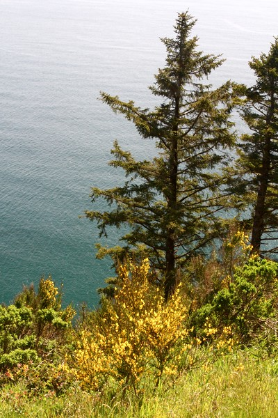 """The lookout just outside of Manzanita.  The yellow plants in the foreground are called """"Scotch Broom"""" and they are litereally everywhere.  Yellow yellow yellow"""